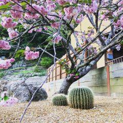 桜×金鯱 IN CHIBA